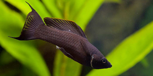 Low Maintenance Fish Black Molly