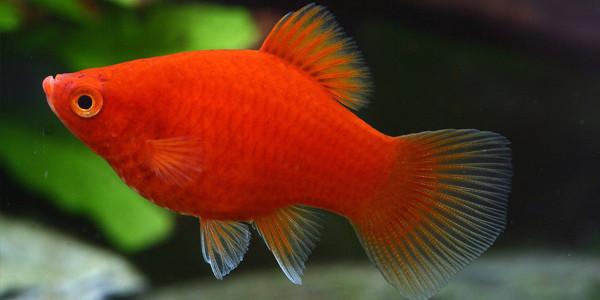 Low Maintenance Fish Platies