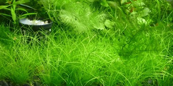 Dwarf Hair Grass Carpet