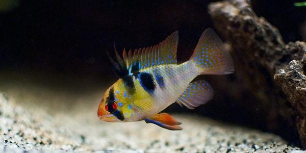 Colourful Freshwater Fish - German Blue Ram