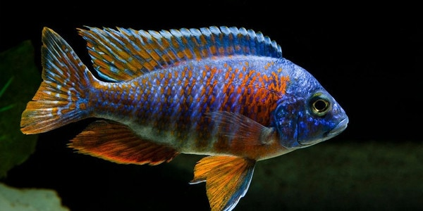 Colourful Freshwater Fish - Peacock Cichlid