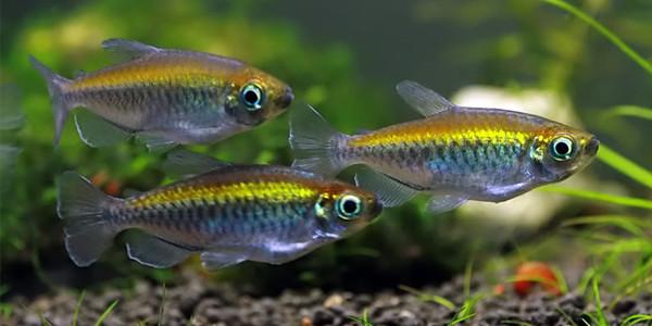 Congo Tetras