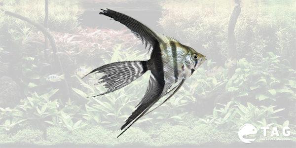 Freshwater Angelfish - Veil Angelfish
