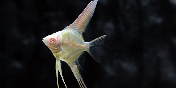 Freshwater angelfish - albino angelfish
