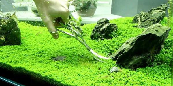 Iwagumi Aquascape Maintenance