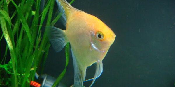 freshwater angelfish - gold angelfish
