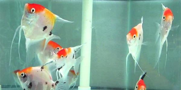 freshwater angelfish - koi angelfish