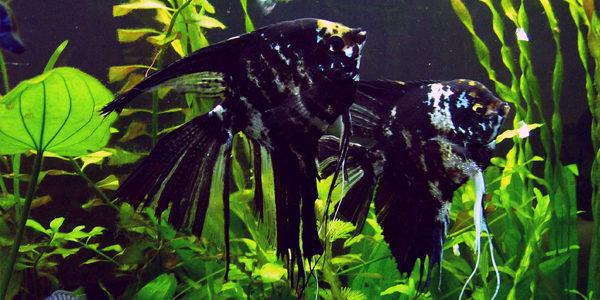 freshwater angelfish - marbled angelfish