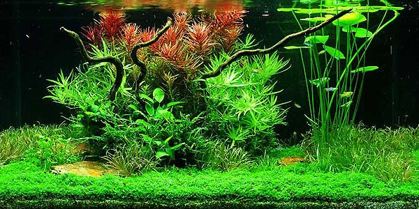 Taiwanese Style Aquascaping
