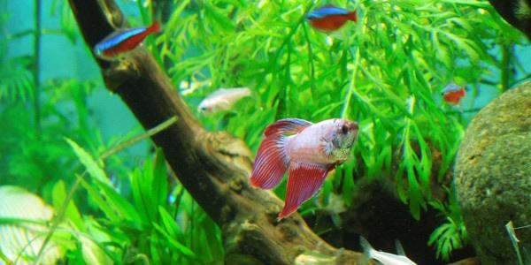 female betta aquarium