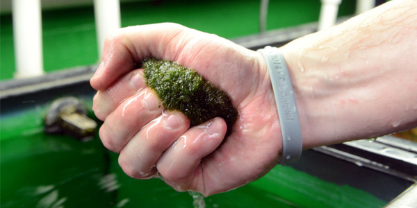 Cleaning Marimo Moss Ball