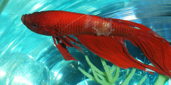 Betta Fish Diseases - Bacterial Infection