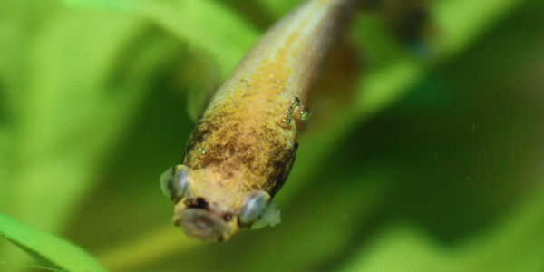 Betta Fish Diseases - Popeye Disease