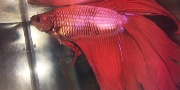 Betta Fish Diseases - Turbuculosis