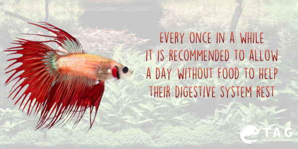 Betta Fish Food Tip