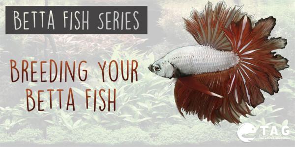 Betta Fish Series - Breeding Your Betta Fish