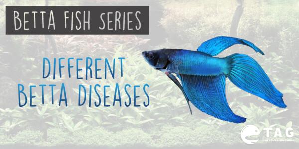 Betta Fish Series - Different Betta Diseases
