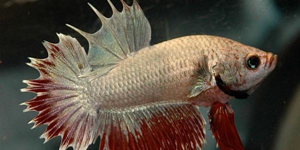Betta fish CombTail