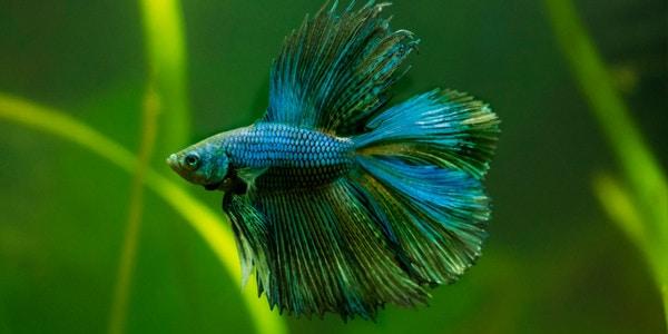 Betta fish Double Tail