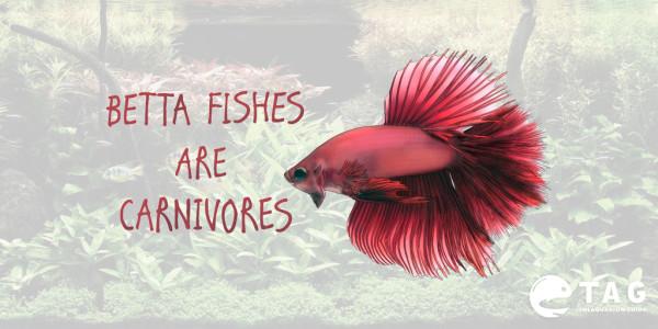 Betta fishes are carnivores