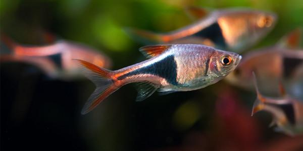 easy schooling fish - Harlequin rasbora