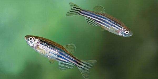 easy schooling fish - Zebra danio minnow