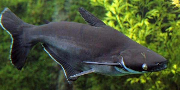 Freshwater Shark - Siamese shark