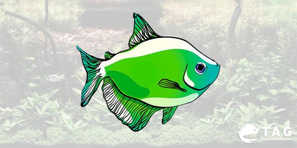 Type of Tetra - Glowfish Tetra