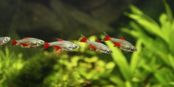 bloodfin tetras