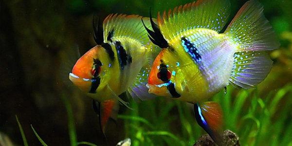German Blue Ram Cichlids