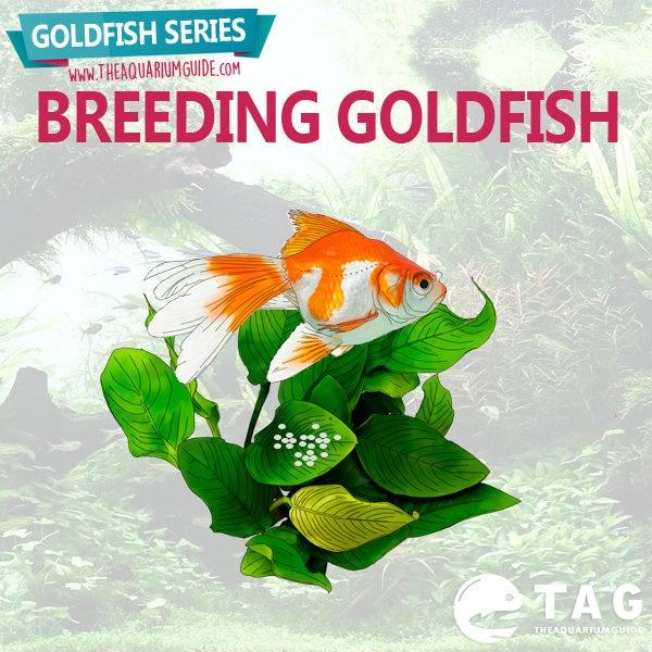 Goldfish Series - Breeding Goldfish