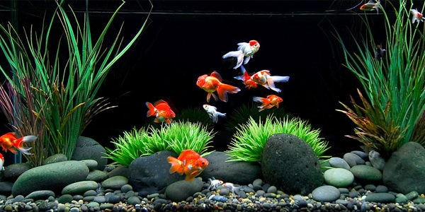 Goldfish Series - Goldfish Tank Setup