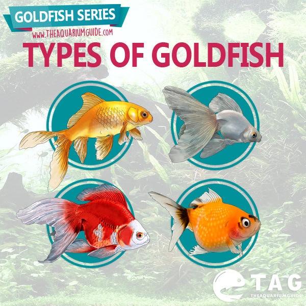 Goldfish Series - Types of Goldfish