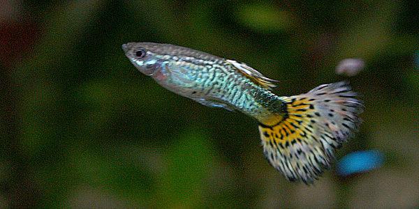 10 Gallon Aquarium Fish - Guppy