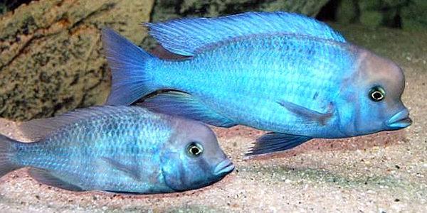 Blue Dolphin Cichlid