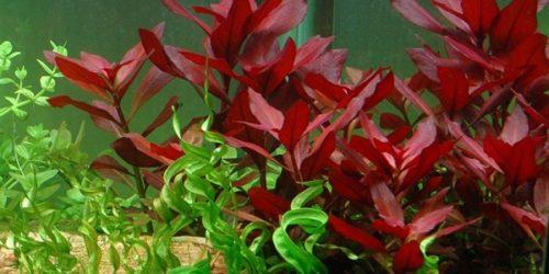 Plant Ludwigia Repens