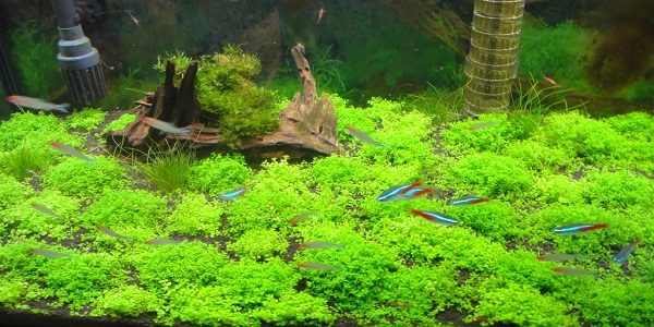 Carpet in Your Planted Tank