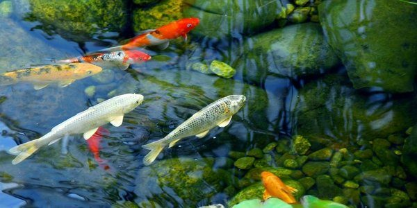 Koi fish care the aquarium guide for Koi goldfish care