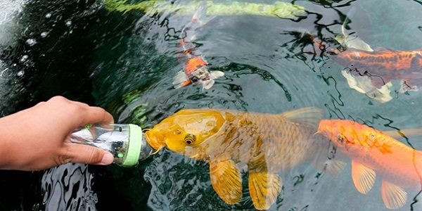 Tips to prevent fish from becoming ill the aquarium guide for Koi goldfish care