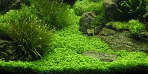 Staurogyne Repens Carpet