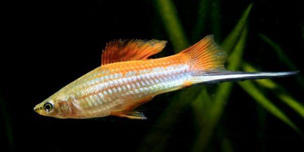 Swordtail Fish