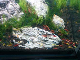 Neocaridina shrimps