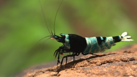 bee shrimp