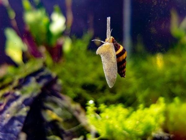 assassin snail in aquarium