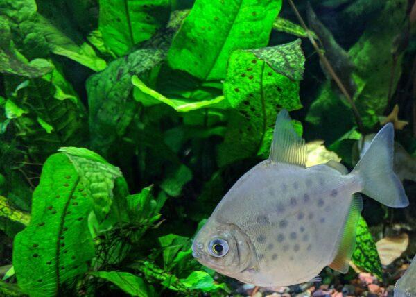 java fern with fish