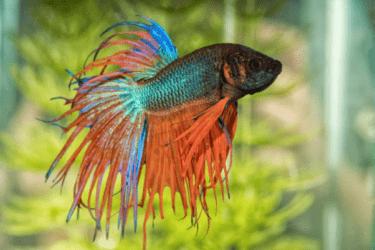 Betta fish in the aquarium
