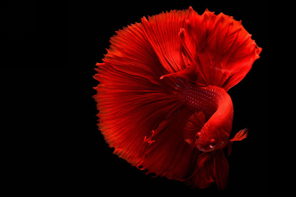 Red Betta Fish on a black background