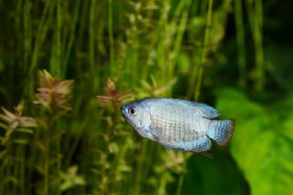 neon blue dwarf gourami swimming in aquarium
