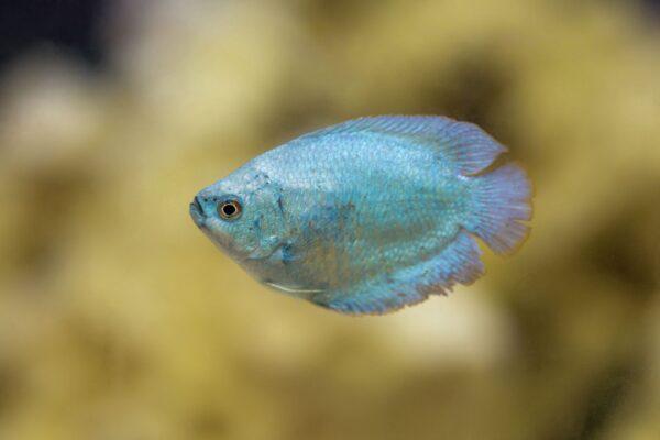 Powder Blue Dwarf Gourami in aquarium