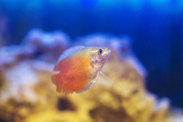 honey dwarf gourami swimming in aquarium